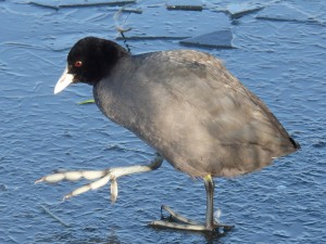 coot-583479_960_720